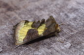 Burnished Brass (Diachrysia chrysitis, France