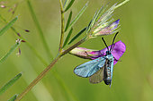 Forester (Adscita sp.) Species determination requires dissection, Imago foraging a fabaceae flower in a meadow, Creuse, France