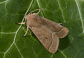 Common Quaker (Orthosia cerasi) imago, woodlands, Brittany, France