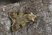 Shuttle-shaped Dart (Agrotis puta) imago at rest, Wetlands and meadows, Brittany, France
