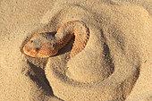 Vipère des sables (Cerastes vipera) dans le sable, Mauritanie