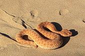 Vipère des sables (Cerastes vipera) sur le sable, Mauritanie
