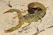 Yellow Fat Tail Scorpion (Androctonus australis) on sand, Mauritania
