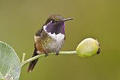 Purple-throated Woodstar (Calliphlox mitchellii), Ecuador