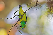 Golden-browed Chlorophonia (Chlorophonia callophrys), Costa Rica