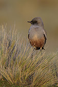 Chocolate-vented Tyrant (Neoxolmis rufiventris) perched on a grassy clump, Andes, Chile