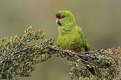 Slender-billed Parakeet (Enicognathus leptorhynchus) perched on a branch, Andes, Chile