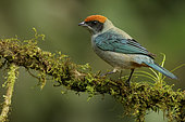 Scrub Tanager (Tangara vitriolina) perched on a mossy branch, Andes, Colombia