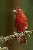 Red Tanager (Piranga flava) perched on a branch, Andes, Colombia