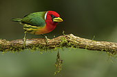 Red-headed Barbet (Eubucco bourcierii) male perched on a branch, Andes, Colombia