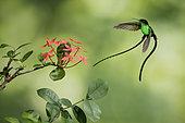 Colibri à bec noir (Trochilus scitulus) mâle en vol, Jamaïque