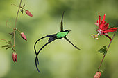 Black-billed Streamertail (Trochilus scitulus) male flying, Jamaica