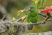 Black-billed Amazon (Amazona agilis) perched on a branch, Jamaica