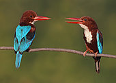 White-throated Kingfisher (Halcyon smyrnensis) perched on a branch, Penang, Malaysia