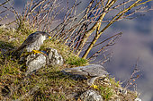 Peregrine Falcon (Falco peregrinus) couple preparing for mating, Jura, Bugey, France