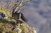 Peregrine Falcon (Falco peregrinus) couple mating at the top of a cliff, Jura, Bugey, France