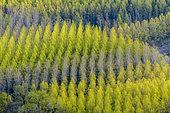 Plantings of Black Poplars (Populus nigra) in spring foliage, Savoie, France