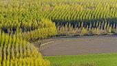 Plantations de Peupliers noirs (Populus nigra) en feuillage de printemps, Savoie, France