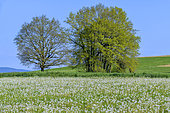 Dandelions (Taraxacum officinale) in full fructification in a meadow with trees, Seyssel, Haute-Savoie, France