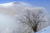 Saule (Salix sp) couvert de givre, Vallée du Ferrand, PN des Ecrins, Oisans, Alpes du Nord, France