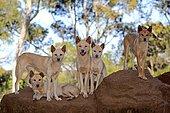 Dingos (Canis familiaris dingo), adult, pack on rocks, Phillip Island, Gippsland, Victoria, Australia, Oceania