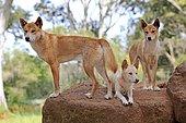 Dingos (Canis familiaris dingo), adult, three on rock lookout, Phillip Island, Gippsland, Victoria, Australia, Oceania