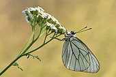 Black-veined White (Aporia crataegi) imago resting semi-transparent wings, Creuse, France