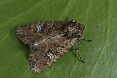 Small Clouded Brindle (Apamea unanimis) Imago, marsh, Ille et Vilaine, France