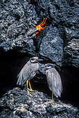 Galapagos Yellow-crowned night heron (Nyctanassa violacea pauper) and crab on rocky shore, Galapagos