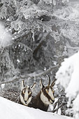 Alpine Chamois (Rupicapra rupicapra) female with her baby in the shelter of a shower of snow under a tree in winter, Jura, France
