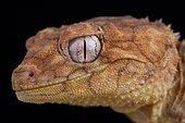Centralian rough knob-tailed gecko (Nephrurus amyae)