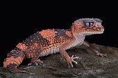 Northern banded rough knob-tailed gecko (Nephrurus wheeleri cinctus)