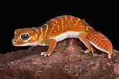 Smooth knob-tailed gecko (Nephrurus levis)