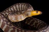 Woma python (Aspidites ramsayi)