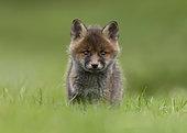 Renard roux (Vulpes vulpes) renardeau dans une prairie, Angleterre