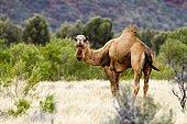 Wild dromedary (Camelus dromedarius), Northern Territory, Australia, Oceania