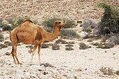 Dromedary (Camelus dromedarius) standing on the roadside, Ras al Jinz, Oman, Middle East, Asia