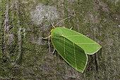 Scarce Silver-lines (Bena bicolorana) Imago resting, oak woods, Crozon, Finistère, France