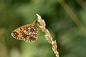 Silver-bordered Fritillary (Boloria selene) imago at rest, wet meadows, Lake Vassivière, Creuse, France