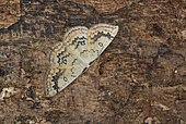 Mocha (Cyclophora annularia) Imago at daytime rest, Moist woods, La Chatre, Indre, France