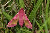 Small Elephant Hawk-moth (Deilephila porcellus) imago at daytime rest, back dune, Crozon, Finistère, Brittany, France