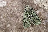 Merveille du jour (Griposia aprilina) Imago resting, oak woods, Côtes d'Armor, Brittany, France