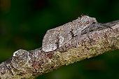 Dark tussock (Dicallomera fascelina) imago on a twig, moors, Crozon, Finistère, Brittany, France