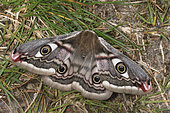 Emperor moth (Saturnia pavonia) Imago female waiting for males to be fertilized. The imagos of this family do not feed. Slopes, moors, Côtes d'Armor, Brittany, France