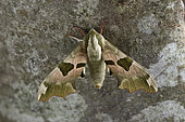 Lime Hawk-Moth (Mimas tiliae) Male imago resting on a trunk, selvedges, Ille et Vilaine, Bretagne, France