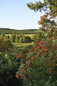 European mountain ash (Sorbus aucuparia) in fruiting, Millevaches plateau, Limousin, France