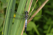 Common skimmer (Orthetrum albistylum) male imago at the edge of a pond, Berry, France