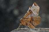 Lunar Thorn (Selenia lunularia), Imago, Wooded areas, beech, limes, Côtes d'Armor, Brittany, France