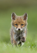 Red fox (Vulpes vulpes) cub running in a meadow, England