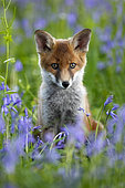 Red Fox (Vulpes vulpes) young cub sitting amongst bluebell, England
